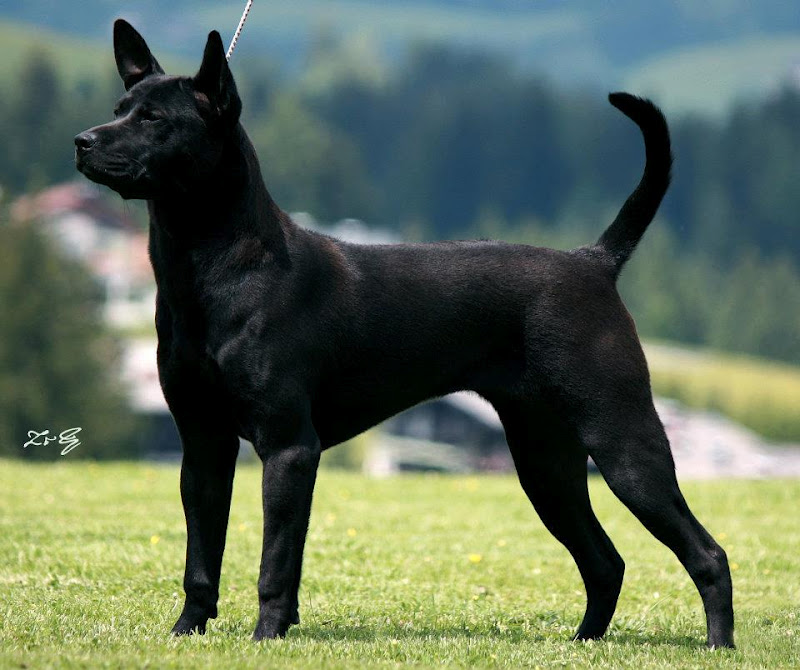 Black Ridgeback Dog | www.imgkid.com - The Image Kid Has It!