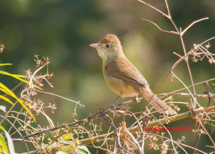 Thick-billed Warbler ( Iduna aedon)