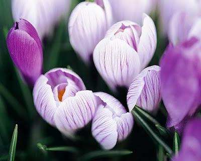 hoa tulip 8