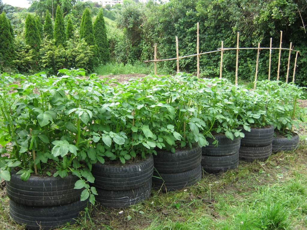 Monitorizacion cultivo patatas en neumaticos for Como cultivar patatas