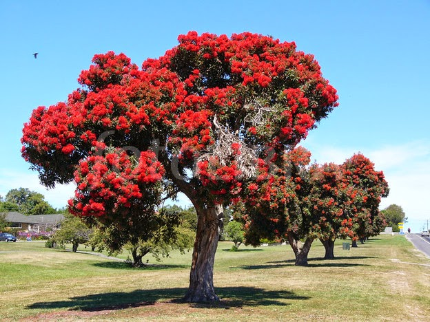 Captivating Not All Christmas Trees Are Evergreens. The New Zealand