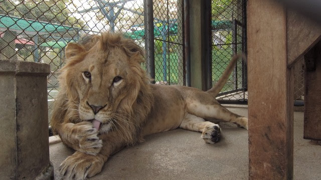 Dangerous Lions Photos,Tigers Pics,Lion in Cage images,wild animals