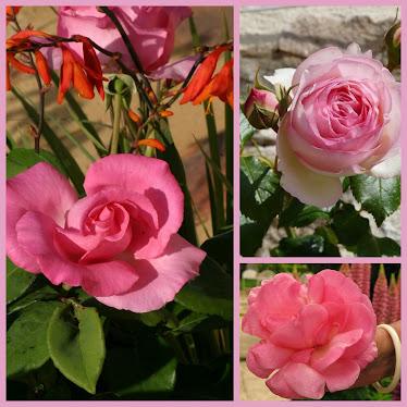 ROSES  -----rose