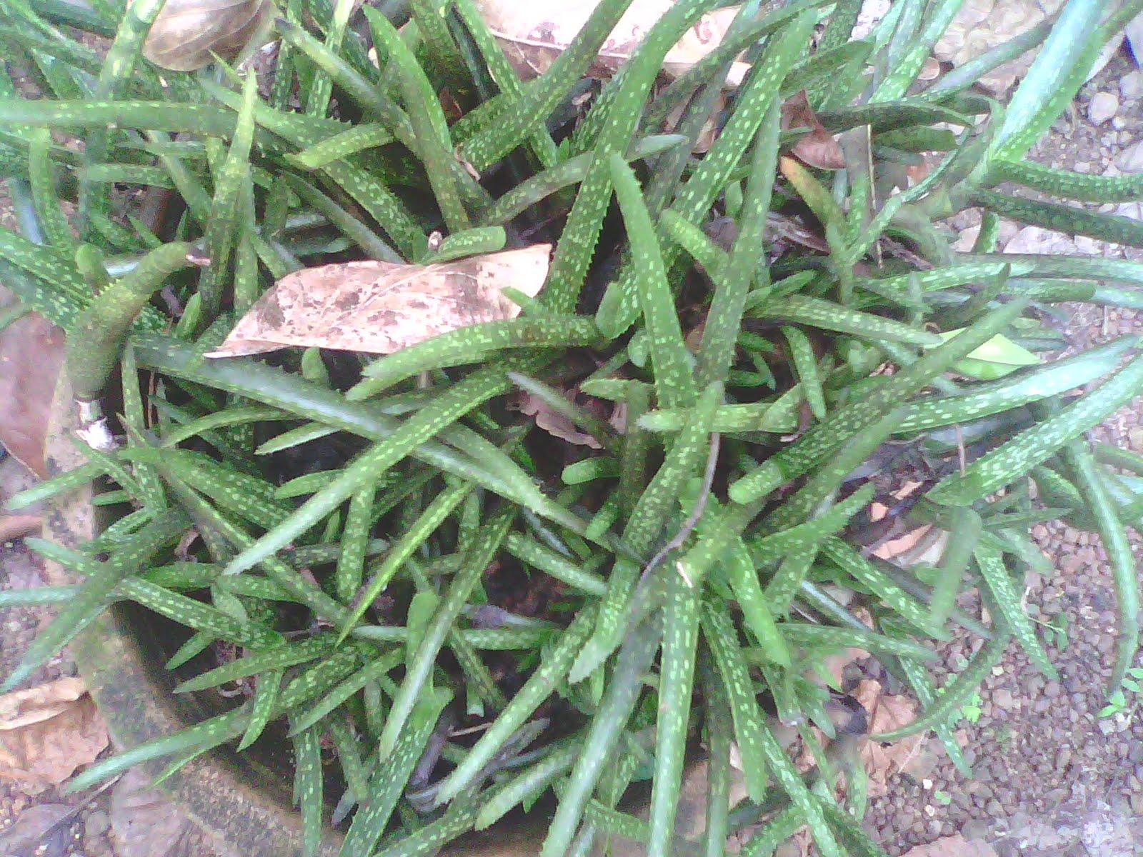types of aloe vera plant