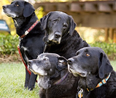 four black Labs with greying muzzles