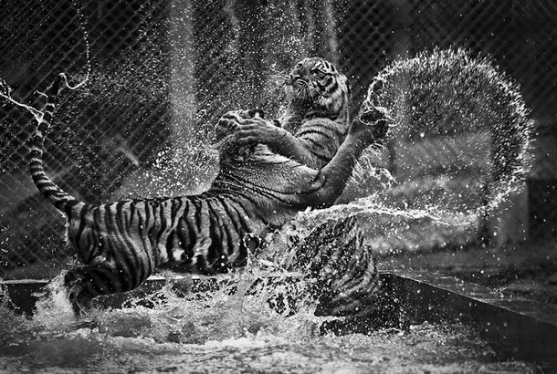 Duelling Tigers