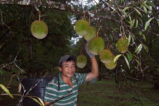 kutip_durian_di_kebun
