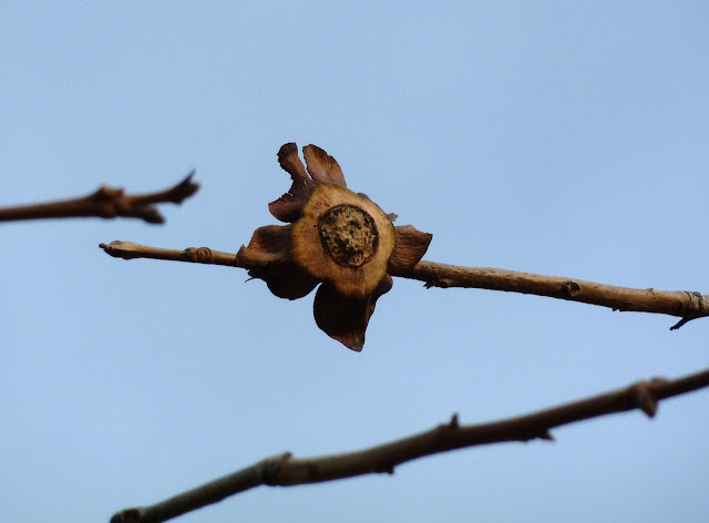 The remains of a Japanese Persimmon in winter, Brooklyn Botanic