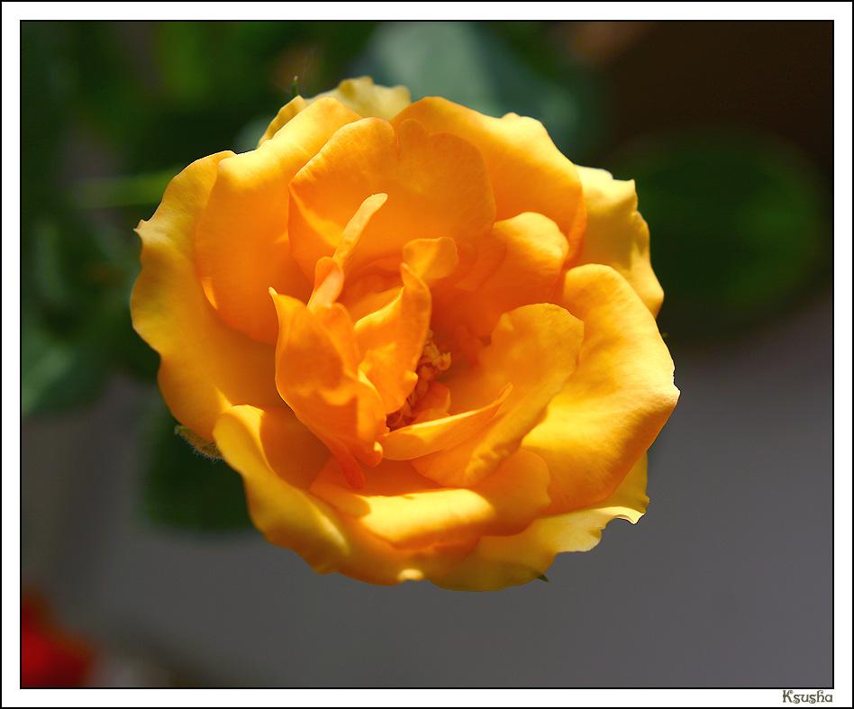китайская роза комнатное дерево уход в домашних условиях