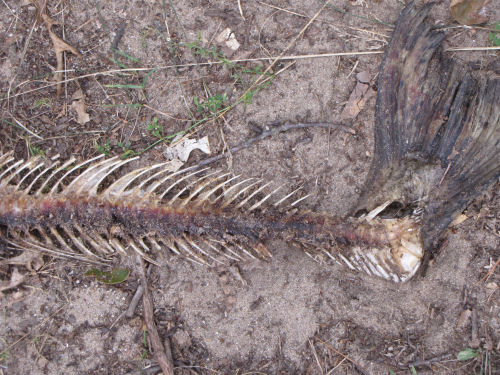 salmon skeleton