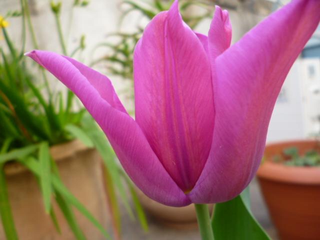 Il mio piccolo giardino segreto tulipani for Immagini buongiorno il mio piccolo mondo segreto