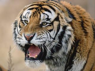 Sibirski tigar, Rusija slike besplatne pozadine za desktop download