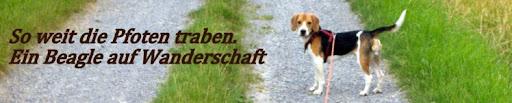 Ein Beagle auf Wanderschaft