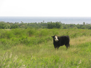 A cow in Hawaii