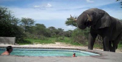 Gajah Bersuara Seperti Manusia Berbicara [ www.BlogApaAja.com ]