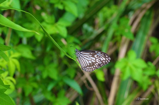 雞南山散步,娟斑蝶