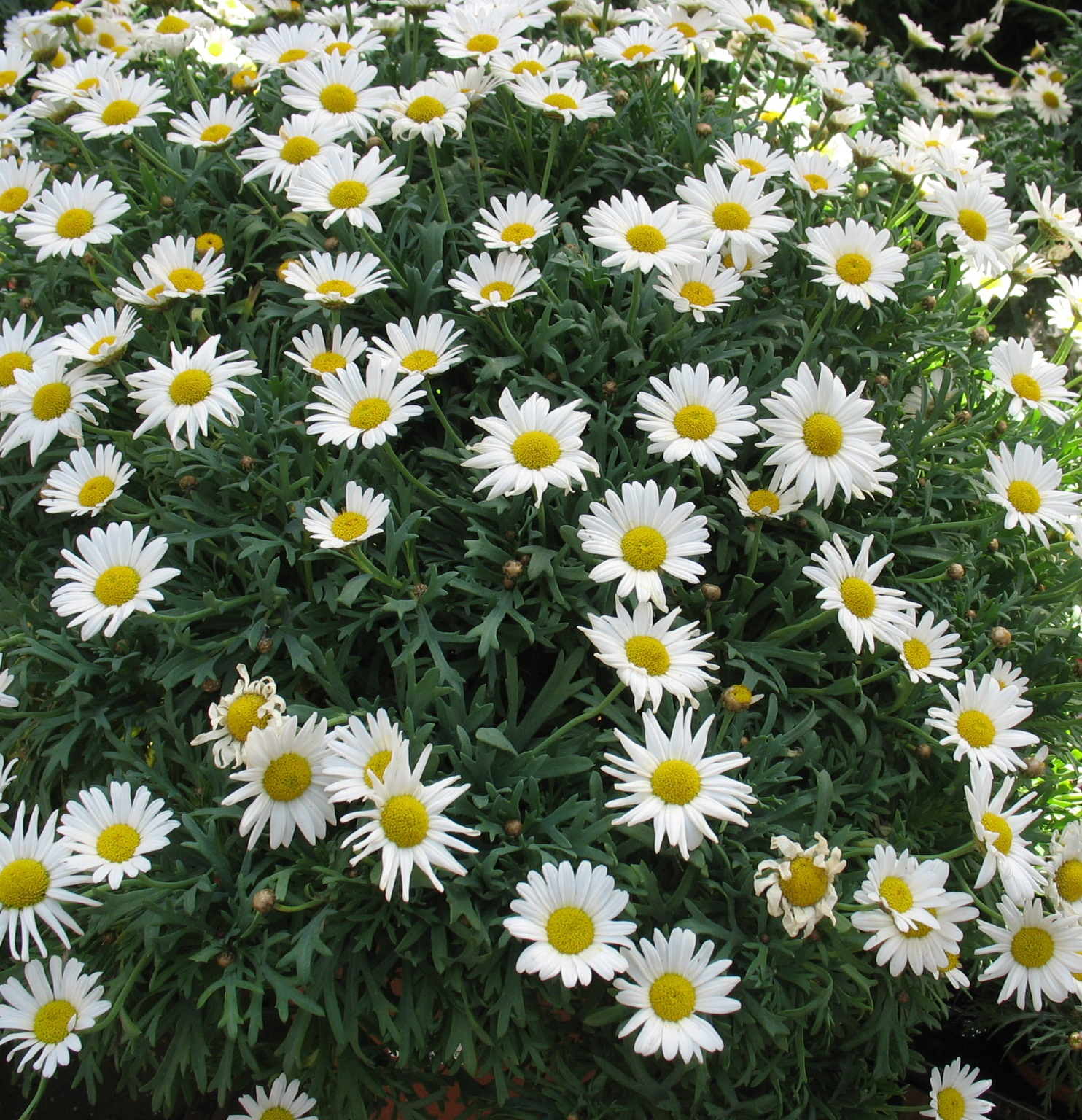 Bild: Zierpflanze; Blume: Margerite.