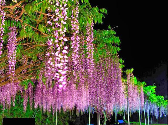 Hoa tử đằng ở Nhật Bản và Việt Nam