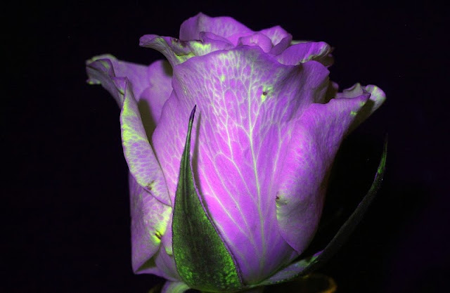 Fluorescein experiments flowers
