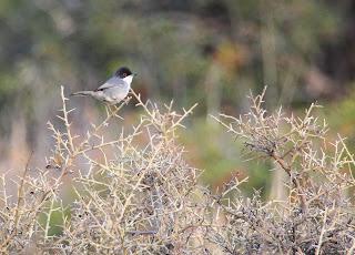 Sardinian Warbler, Crete - The Desktop Birder, Simon Colenutt