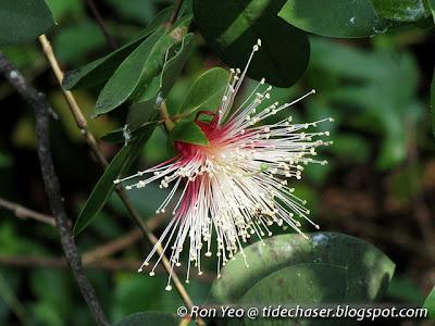 Berembang (Sonneratia caseolaris)
