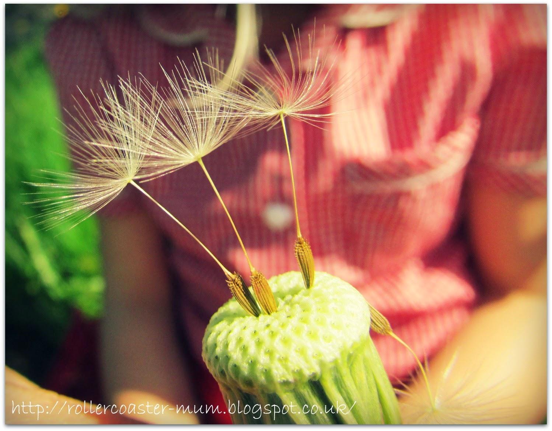 dandelion fairies, dandelion clock