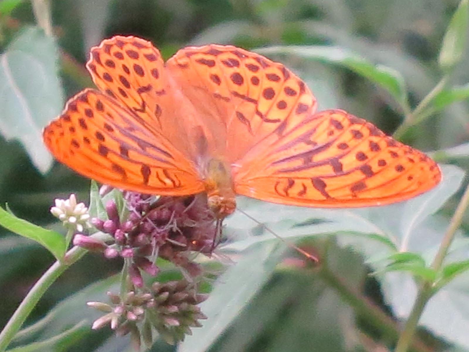 Les papallones diürnes de la Riera de Pineda (Alt Maresme)