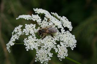 včela v plné práci Třeboňsko