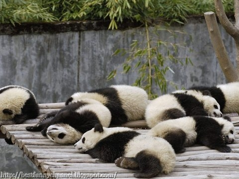 panda bears pictures 34