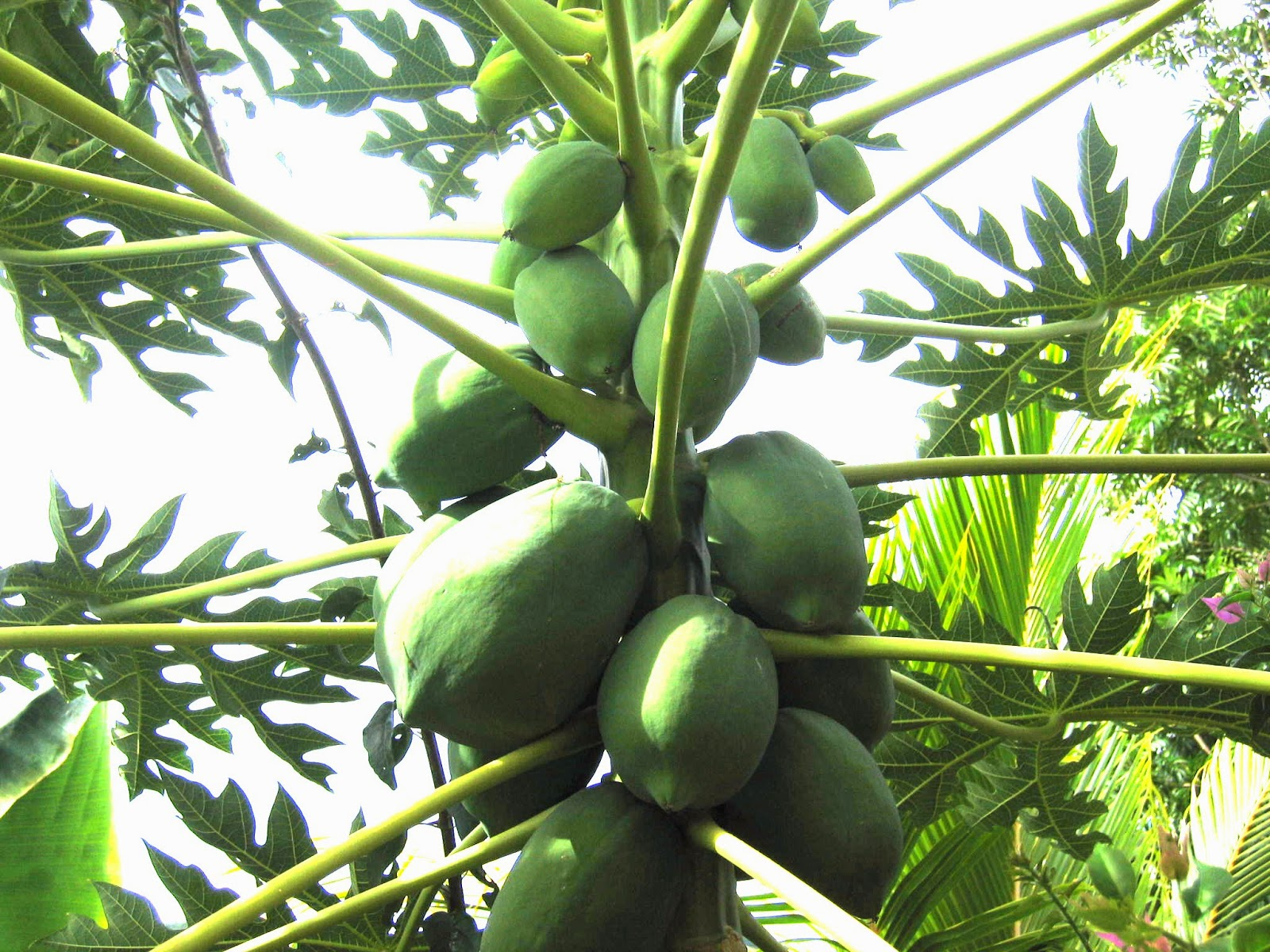 Female Papaya Tree With Fruit