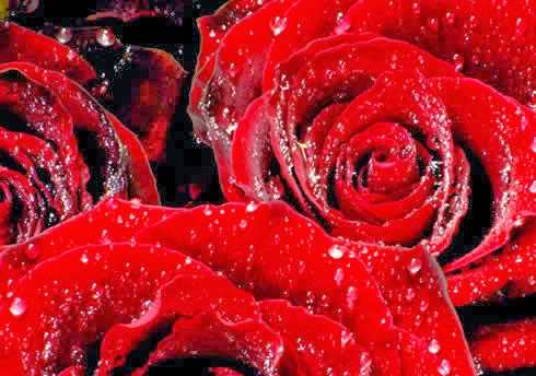 Red Roses, part 1