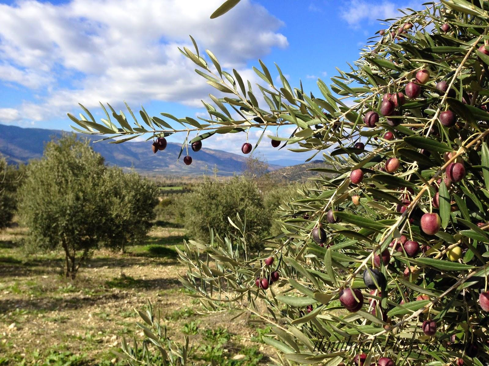 marseille olive