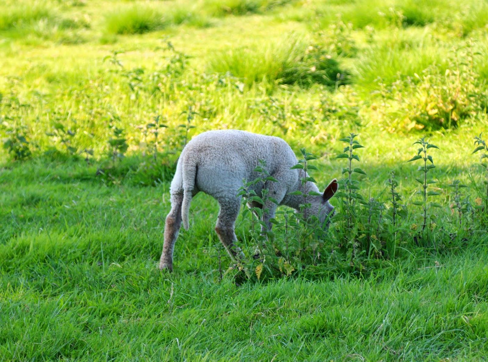 Lamb, Marlow