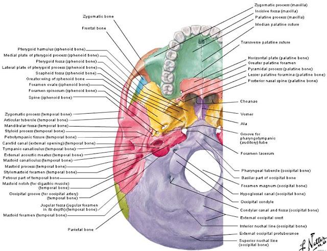Anatomy of occipital bone