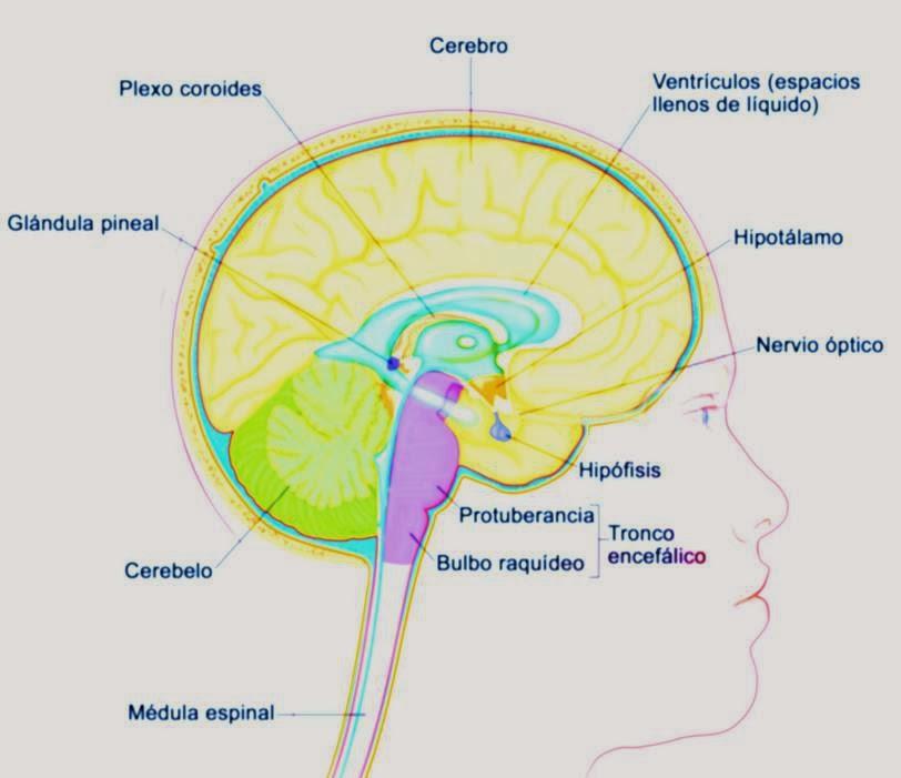 Protuberancia anular, características, morfología y funciones ...