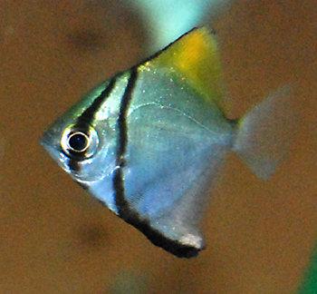 Kiraya Ikan Hias Cantik Untuk Aquarium Air Tawar 1