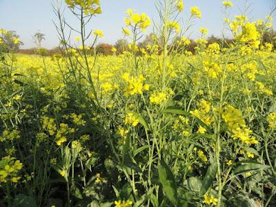 Brown Mustard (Brassica Juncea) Overview, Health Benefits, Side effects
