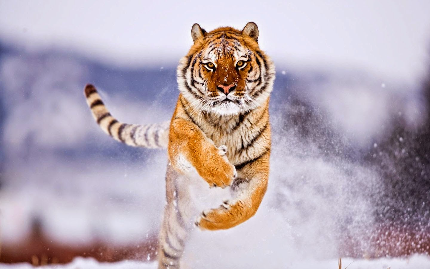 Lovable images wild tiger hd wallpapers free download cute tiger hd pictures hd images of - Tiger hd wallpaper for pc ...