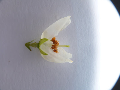Pieris japonica - flower