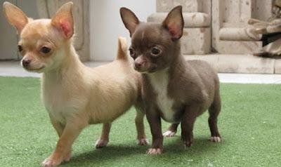 Origen Perro Chihuahua