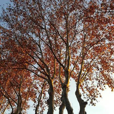 Automne Platane Heure dorée Golden Hour Fall