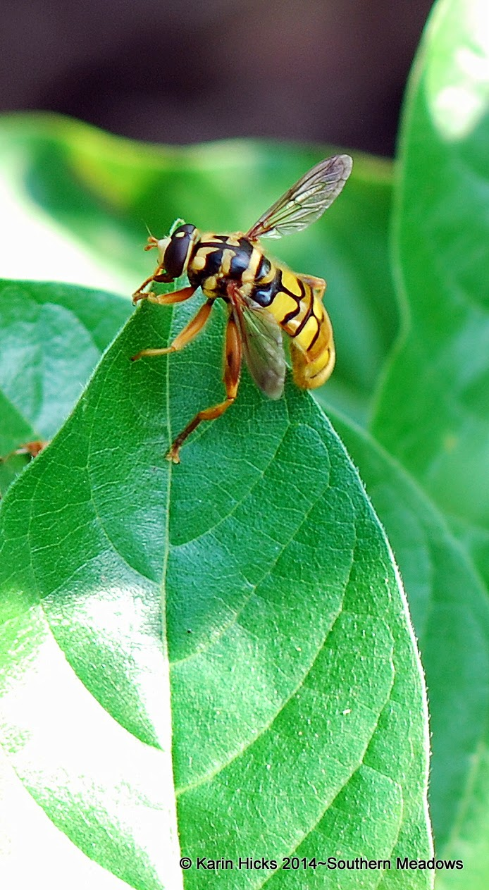 yellow jacket hover fly 'Milesia,virginiensis'