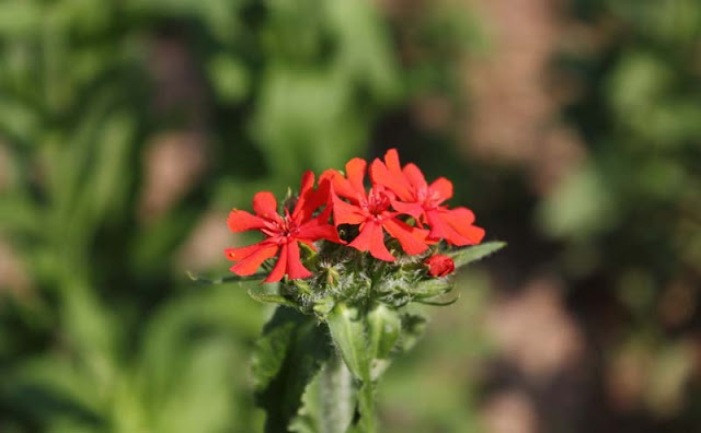 Maltese Cross Flowers Pictures