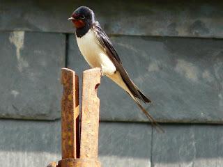 Swallow, Moel Siabod