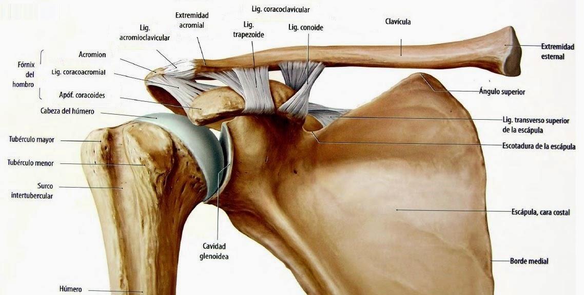 Unidad 4: Miembros superiores del cuerpo humano: Articulación del hombro