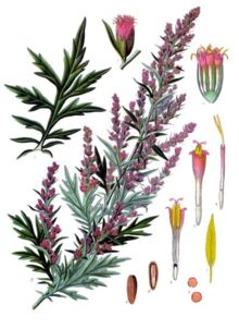 Garganistan Gargano Artemisia vulgaris