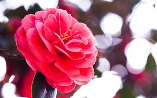 Red Camellia Flower Desktop Wallpaper