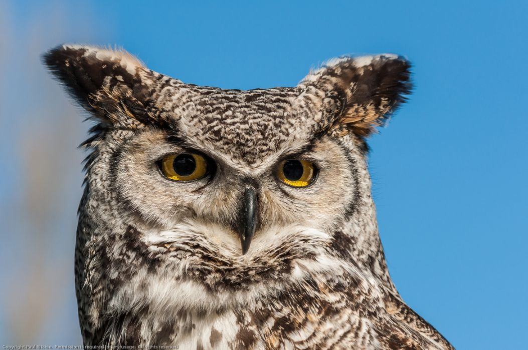 3. Photograph Long-eared Owl (Asio otus) by Paul Ritchie