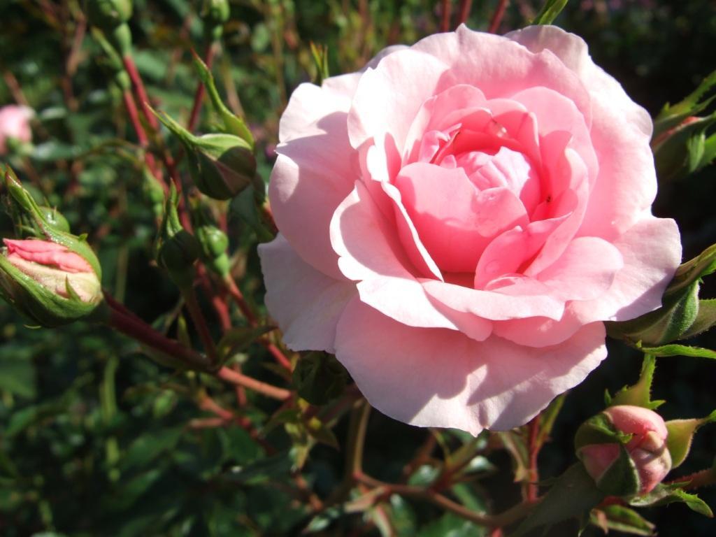 pflanzen resort floribunda rose bonica 82. Black Bedroom Furniture Sets. Home Design Ideas