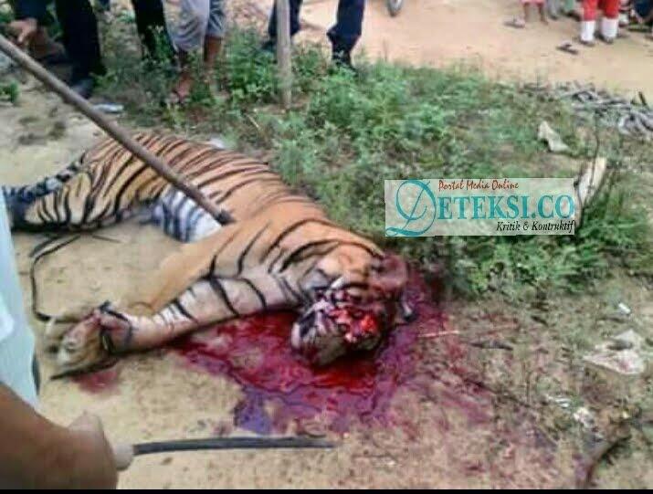 Harimau Sumatera Dimatikan Warga